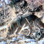 Coyote South of Wyoming/Utah Border