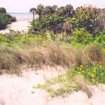 Native Flora of the Indian River Lagoon