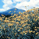 Sunflowers and Sierra Blanca