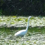 Egret at Crane Creek