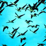 Waterfowl Flyway