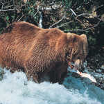 Brown Bear in McNeil River