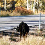 Cattle Wander Freely Around Scenic Byway 12