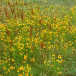 Plains Coreopsis Wildflowers