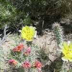 Flowering Prickly Pear