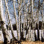 Birches Along the Byway in Winter