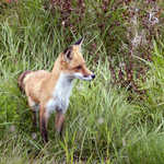 Alert Fox in Grass on Gunflint Trail