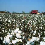 Cotton Field