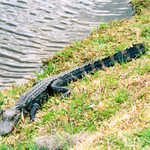 An Alligator at Middleton Place