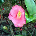 Camellias at Magnolia Gardens