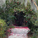 Camellias on Magnolia Garden Pathways