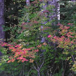 Turning Vine Maple on Mt. Baker