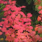 Vine Maple in Fall