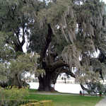 Colossal Live Oak Tree