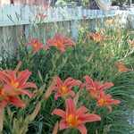 Orange Daylilies Against a White Fence
