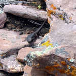 Lizards Among the Rocks