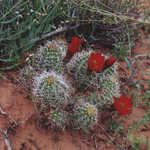 A Barrel Cactus Blooming on the Hickman Bridge Trail