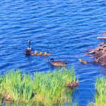 A Family of Ducks on the Lake