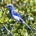 Florida Scrub Jay at Merritt Island