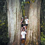 2,000-Year-Old Giant Cedars on the International Selkirk Loop