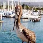 Brown Pelican at the Harbor