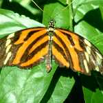 Tiger-Striped  Butterfly