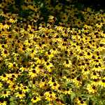 Black-eyed Susans in the Oriental Gardens