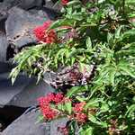 Red Berries on Wizard Island
