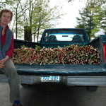 An Excellent Lanesboro Rhubarb Crop