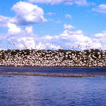 White Pelicans at Big Stone National Wildlife Refuge