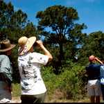 Birders Searching for Neo-Tropical Migrants