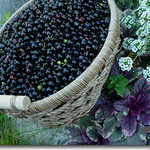 Basket Full of Huckleberries