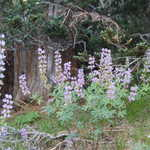 Lupine on Castle Crest Trail