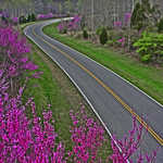 Pink Flowers beside Natchez Trace Parkway in Spring