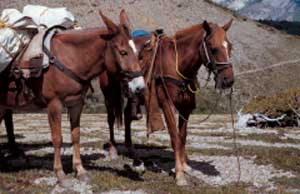 Photo of a mule being used a pack animal and a horse with a saddle on.