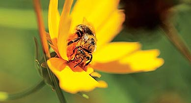 Bees like this one pollinate crops while also sustaining wildland plant communities that provide food and shelter for myriad other wildlife.