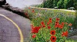 A road with red flowers