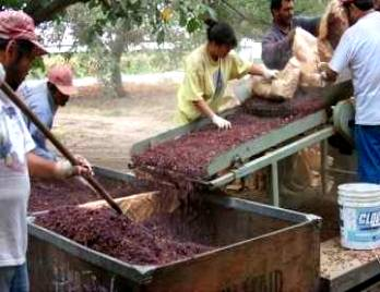 photo: workers processing raisins on a conveyor belt
