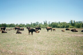 photo of a field and herd of bison